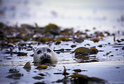 A harbor seal (Phoca vitulina) peers out of the water from a kelp bed near the San Juan Islands, Washington.