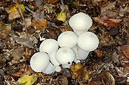 Common Puffball - Lycoperdon perlatum