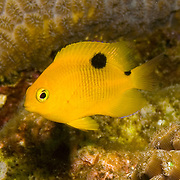 Threespot Damselfish, juvenile, inhabit reef tops in areas with algae in Tropical West Atlantic; picture taken St. Vincent.