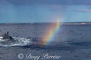 a whale mist rainbow or whalebow shimmers in the drifting spout of a humpback whale, Megaptera novaeangliae,  Kihei, Maui, Hawaii, Hawaii Humpback Whale National Marine Sanctuary, USA ( Central Pacific Ocean )
