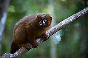Red-bellied Lemur (Eulemur rubriventer)<br /> East Madagascar<br /> Palmarium<br /> MADAGASCAR<br /> ENDEMIC<br /> Vulnerable