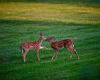 Alpha Fawn telling the cousin to go away. Image taken with a Fuji X-T3 camera and 200 mm f/2 lens