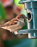 House Sparrow (Passer domesticus). Images taken with a Nikon D810A camera and 80-400 mm VRII lens.