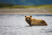 A coastal brown bear ( Ursus arctos ) standing in the water in early morning , morning, Katmai Peninsula, Alaska