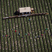 Workers pick strawberries in Oxnard, CA.
