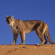 Mountain Lion (Felis concolor) in sand dunes in the slot canyons of northern Arizona. Captive Animal