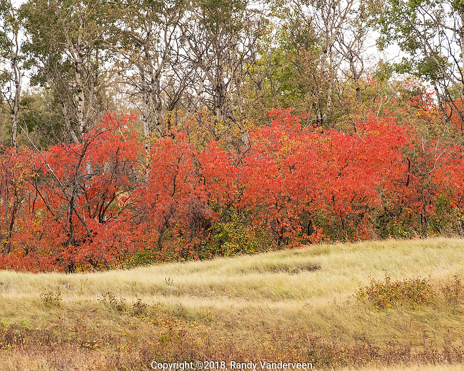 Photo Randy Vanderveen<br /> Grande Prairie, Alberta<br /> 2018-09-18<br /> The colours of fall are beginning to show themselves now that the South Peace has been hit by several nights of frost. The colours come in waves as different species of trees and shrubs change colour at different times and even similar species like aspen, can vary depending on whether they are growing on high ground or in low areas and if they are in an open area or sheltered by other trees.