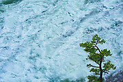 Coniferous tree and Bow Falls<br />Banff National Park<br />Alberta<br />Canada