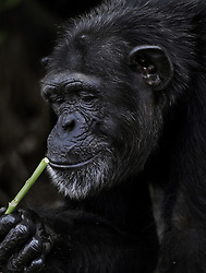 March 3, 2016 - Charlesville, Liberia - Former research chimps are fed by members of Liberian Chimpanzee Rescue on March 3, 2016 after decades of biomedical experimentation in Liberia, West Africa. .LCR is a program of Humane Society of the United States.  HSUS and New York Blood Center came to an agreement recently in May 2017 after years of discussion about the care of research chimps NYBC had abandoned in Liberia, West Africa when they withdrew all funding for food and water.  In March 2016, a team from HSUS visits to view the situation.  NYBC also refused to pay for their caregivers who used their own meager finances to continue feeding them. They now live on six islands serving as a sanctuary.  The HSUS stepped in to assist and improve the dire situation in which the chimpanzees were literally left to die if not for the heroic efforts of their original caregivers who had worked for NYBC and were abandoned as well. (Credit Image: © Carol Guzy via ZUMA Wire)