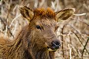 Roosevelt elk (Cervus canadensis roosevelti), Ecola State Park, Oregon coast, USA.