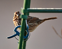 Song Sparrow (Melospiza melodia). Image taken with a Nikon D850 camera and 600 mm f/4 VR lens