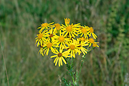 COMMON RAGWORT Senecio jacobaea (Asteraceae) Height to 1m. Hairless and poisonous biennial or short-lived perennial. Grows in grassland; thrives in grazed areas (animals avoid eating living plant). FLOWERS are yellow and borne in heads, 15-25mm across; these are carried in dense, flat-topped clusters (Jun-Nov). FRUITS of disc florets are downy; ray floret fruits hairless. LEAVES are pinnate with a blunt end lobe. Foodplant of Cinnabar Moth larvae. STATUS-Common and widespread.