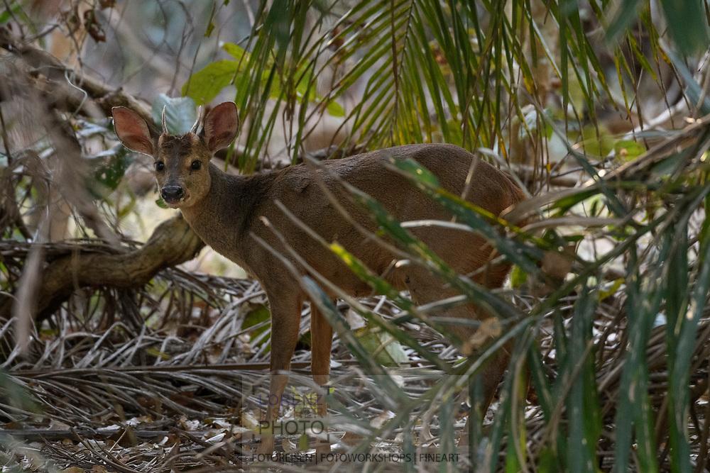 A male red brocket (Mazama americana) in the Pantanal, Mato Grosso do Sul, Brazil