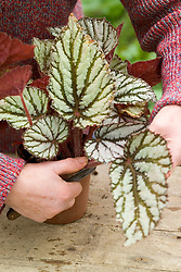 Taking leaf cuttings from a begonia using the 'Leaf Slashing' method<br /> Removing leaf