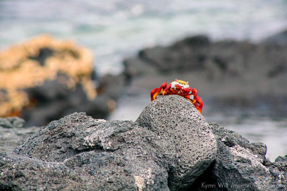 South America, Ecuador, Galapagos Islands. The colorful Sally Lightfoot Crab of the Galapagos Islands.