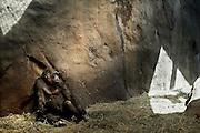 A female Western lowland gorilla (Gorilla gorilla gorilla), an endangered species, sits inside the Gorilla Group 1 enclosure at the Woodland Park Zoo in Seattle, Washington.