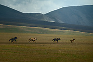 """Horses is a main source of income for many nomads in Kazakhstan, which makes these animals vulnerable to thievery. A horse thief is an ancient """"profession"""" and is still being practiced. After a horse is stolen it can be moved a few hundred kilometers from its home before it is sold, often in Kyrgyzstan."""