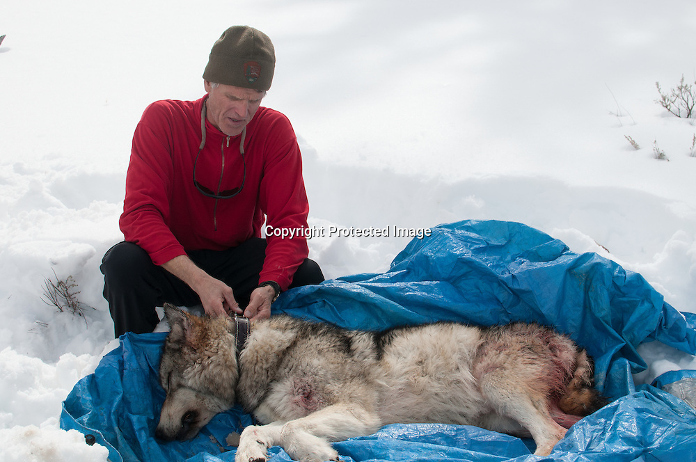 Dr. Douglas Smith, leader of the Yellowstone Wolf Project, in Yellowstone National Park inspects the body of female wolf 759 in Lamar Valley. Wolf 759 was killed by wolves from the Lamar Pack that move into her territory.
