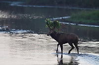 Male, stag, Père David's deer, or Milu, Elaphurus davidianus, standing in the water of the Yangtze river in Hubei Tian'ezhou Milu National Nature Reserve, Shishou, Hubei, China. The dominant harem-keeping stag in the herd.