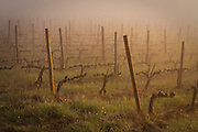 Sangiovese grape vines in spring, Chianti region of Tuscany, Italy.
