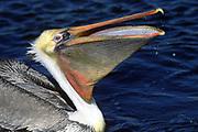 Brown Pelican with open bill.(Pelecanus occidentalis).Bolsa Chica Wetlands,California