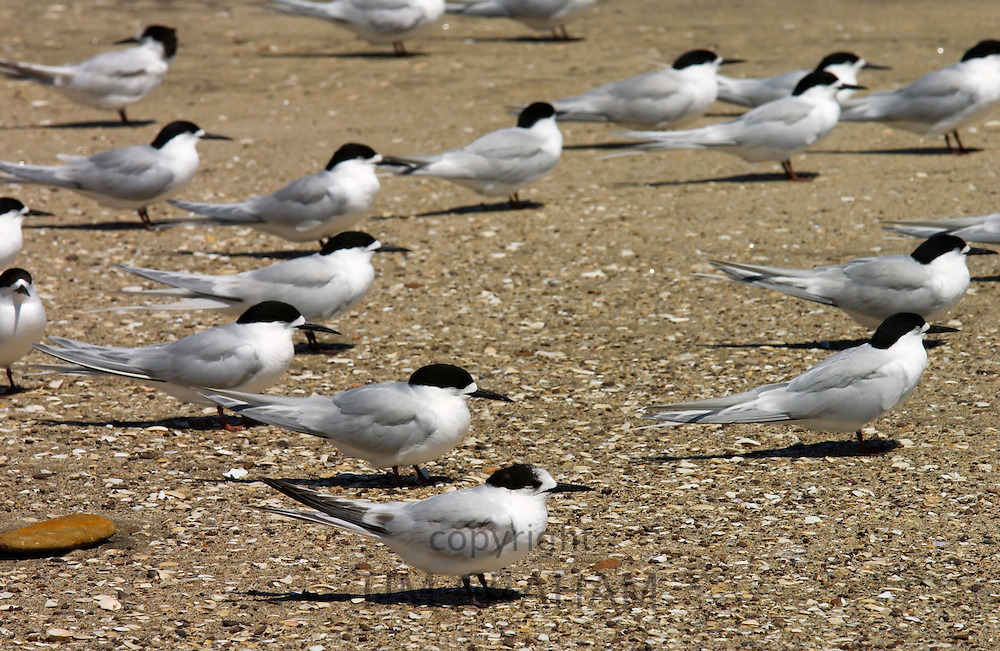 White-fronted terns (Sterna Striata) on a beach near South Head ,  North Island, New Zealand