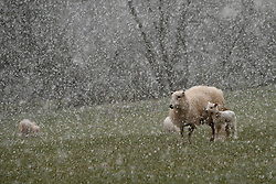 © Licensed to London News Pictures. 11/04/2021. Builth Wells, Powys, Wales, UK.A  ewe and lamb are seen in an unseasonal wintry landscape on the Mynydd Epynt range near Builth Wells in Powys, Wales, UK. Photo credit: Graham M. Lawrence/LNP