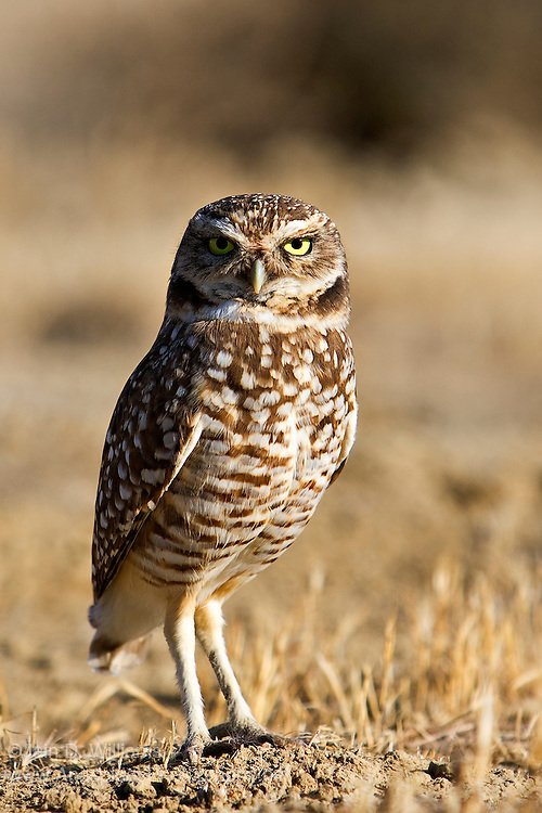 The Burrowing Owl (Athene cunicularia) is a small, long-legged owl found throughout open landscapes of North and South America. Burrowing owls can be found in grasslands, rangelands, agricultural areas, deserts, or any other dry, open area with low vegetation. They nest and roost in burrows, such as those excavated by prairie dogs (Cynomys spp.). Unlike most owls, burrowing owls are often active during the day, although they tend to avoid the mid-day heat