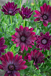 Osteospermum 'Sunny Gaia' - African daisy