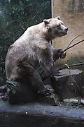 Dierenpark Amersfoort in de winter.<br /> <br /> Op de foto:<br />  Bruine beer<br /> <br /> De beren in DierenPark Amersfoort<br /> Er wonen vier bruine beren in het verblijf: oma, moeder en twee zoons (die tweeling zijn). De vrouwtjes zijn compacter gebouwd dan de mannetjes. Beren leven in de natuur solitair, omdat ze dan voor hun eigen voedsel moeten zorgen. En wat je in je eentje vindt, hoef je niet te delen. In dierentuinen verdragen ze elkaar omdat er genoeg voedsel is en omdat ze allemaal een eigen nachtverblijf hebben.