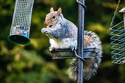 29APR21 Grey squirrel in the garden this afternoon.
