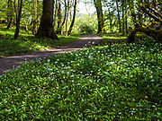 A field of wild garlic blooming in the warm sunshine near The Coppermines in Killarney National Park.<br /> Photo: Don MacMonagle