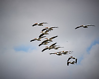 Squadron of American White Pelicans in flight. Biolab Road, Merritt Island National Wildlife Refuge. Image taken with a Nikon D3s camera and 80-400 mm VR len (ISO 200, 400 mm, f/5.6, 1/2000 sec).
