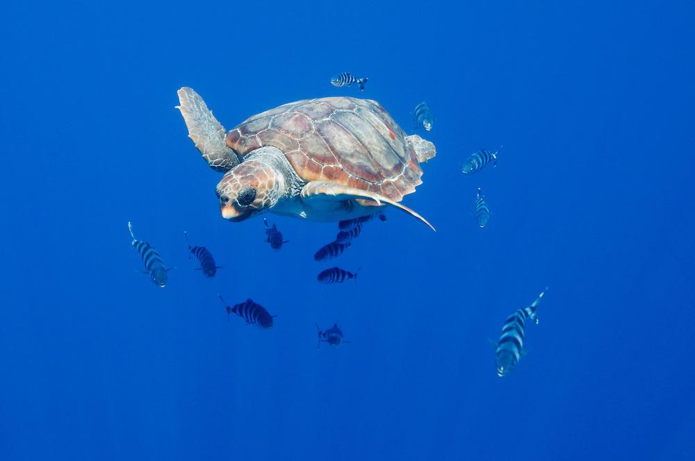 Loggerhead turtle, Caretta caretta, with a school of pilot fishes, Naucrates ductor<br /> Pico, Azores, Portugal