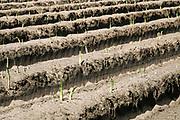 Nederland, Vorstenbosch, 25-6-2019Een veld met uitgroeiende asperges.Na het seizoen wordt de plant met rust gelaten om deze de tijd te geven om te groeien, zodat er nieuwe energie wordt opgedaan voor het volgende jaar. De zonne- energie wordt opgenomen door het bovengrondse groene aspergeloof en opgeslagen in de wortels. Foto: Flip Franssen