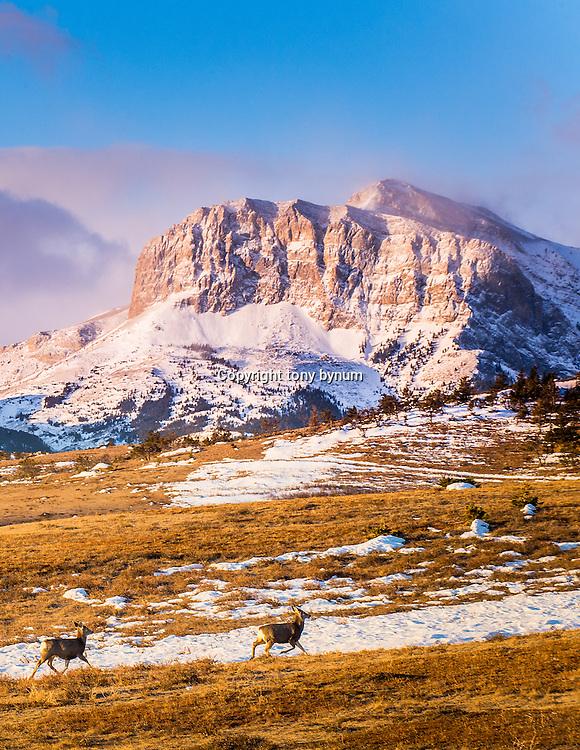 mule deer along the rocky mountain front montana