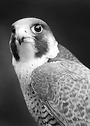 Peregrine falcons are best known for the incredible speeds they attain in a dive after their prey. They have been clocked in their 'stoop' or dive, at over 200 mph. This falcon, Zeus, was brought to Willowbrook Wildlife Center for care in 2004. He was found injured in a driveway in Elmhurst, probably due to a collision with a car.