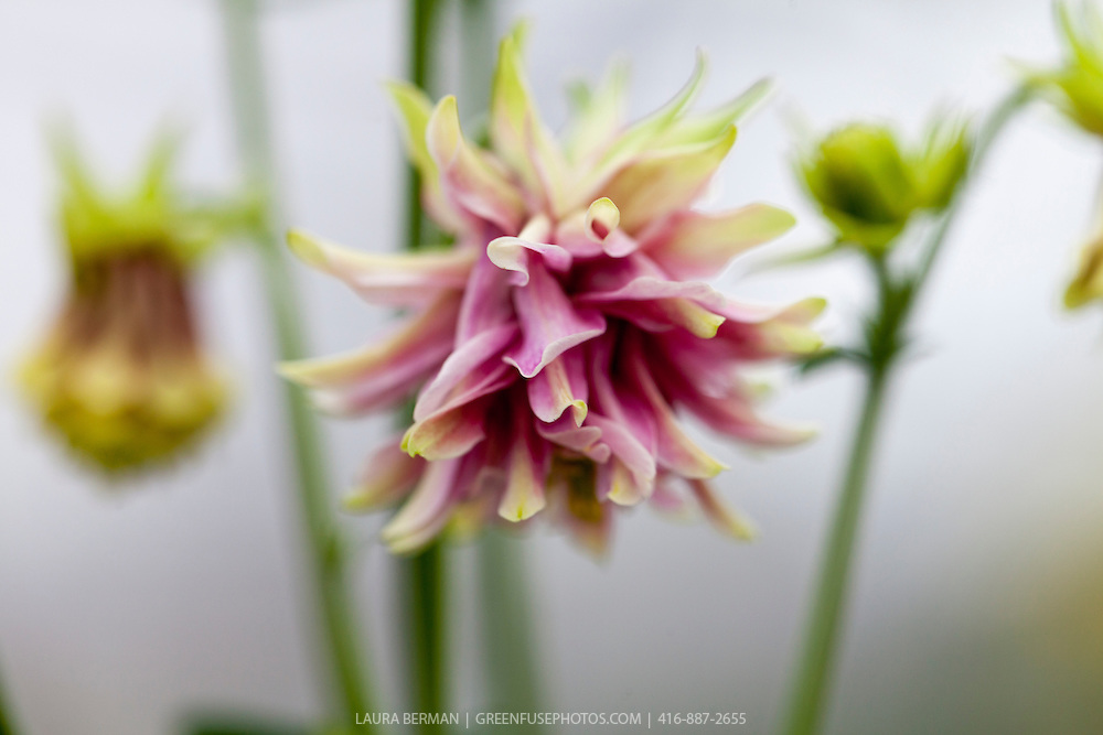 Nora Barlow columbine (Aquilegia vulgaris 'Nora Barlow').