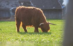 THEMENBILD - ein Schottisches Hochlandrind frisst Graus auf einer Weide, aufgenommen am 22. April 2018, Kaprun, Österreich // Scottish Highland cattle on 2018/04/22, Ort, Austria. EXPA Pictures © 2018, PhotoCredit: EXPA/ Stefanie Oberhauser