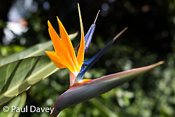 Strelitzia grow in profusion in the subtropical gardens of the Quinta Jardins da Lago Hotel in Funchal, Madeira. MADEIRA, September 25 2018. © Paul Davey
