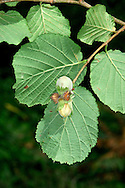 Hazel Corylus avellana Betulaceae Height to 6m<br /> Multi-stemmed shrub, or short tree. Bark Smooth, shiny, peeling into papery strips. Branches Upright to spreading. Twigs with stiff hairs, buds oval and smooth. Leaves Rounded, to 10cm long, hairy above; heart-shaped base and pointed tip. Margins double-toothed. Reproductive parts Male catkins to 8cm long, pendulous and yellow. Female flowers red and tiny; produce hard-shelled nuts. Status Common, often coppiced.