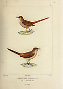 hand coloured sketch Top: brown-capped tit-spinetail (Leptasthenura fuliginiceps [Here as Synallaxis fuliginiceps]) Bottom: rusty-vented canastero or creamy-breasted canastero (Asthenes dorbignyi [here as Synallaxis humicola]) From the book 'Voyage dans l'Amérique Méridionale' [Journey to South America: (Brazil, the eastern republic of Uruguay, the Argentine Republic, Patagonia, the republic of Chile, the republic of Bolivia, the republic of Peru), executed during the years 1826 - 1833] 4th volume Part 3 By: Orbigny, Alcide Dessalines d', d'Orbigny, 1802-1857; Montagne, Jean François Camille, 1784-1866; Martius, Karl Friedrich Philipp von, 1794-1868 Published Paris :Chez Pitois-Levrault et c.e ... ;1835-1847