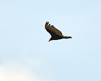 Turkey Vulture (Cathartes aura). Crooked Tree Wildlife Sanctuary. Image taken with a Nikon D3x camera and 70-300 mm VR lens