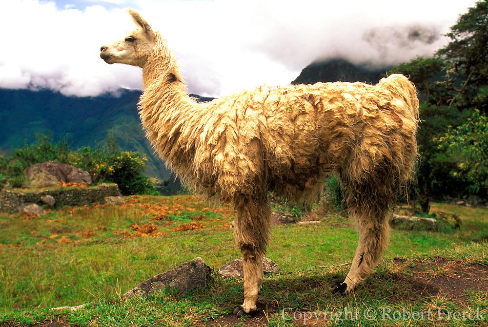 PERU, HIGHLANDS, ANDES MOUNTAINS a llama in a field near Cuzco