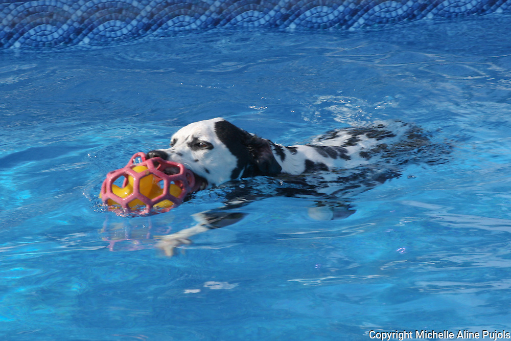 Dalmatian with toy in pool.