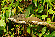 Plumed basilisk (Basiliscus plumifrons) or Jesus Christ lizard, because of its ability to run short distances across water without sinking, near Punta Rio Claro National Wildlife Refuge, Costa Rica.