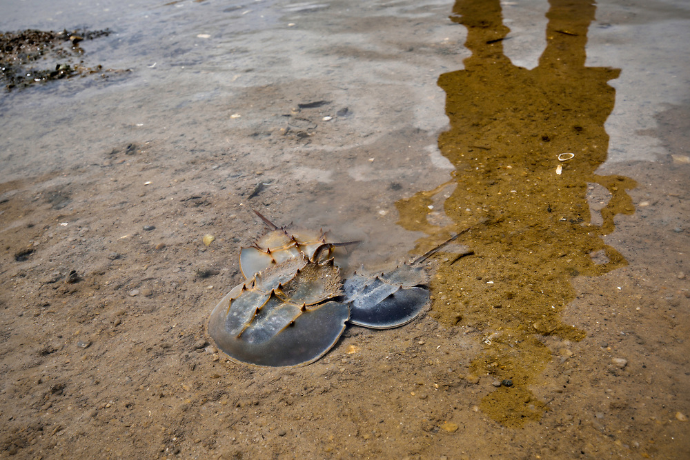 Three chinese horseshoe crab, Tachypleus tridentatus, Ha Pak Nai is a wetland area, mud-bank in the Yuen Long District facing Deep Bay, New territories, Hong Kong, China. Horseshoe crabs are not crabs at all, but are most closely related to spiders, scorpions and trilobites. Tachypleus tridentatus is a species of horseshoe crab found in the seas off China, Indonesia, Japan, South Korea, Malaysia, the Philippines, Taiwan, and Vietnam. IUCN status is; data deficient.<br /> This Image is a part of the mission Wild Sea Hong Kong (Wild Wonders of China).