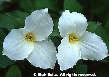 Trillium, trillium grandiflorum, Bowman's Hill Wildflower Preserve, Philadelphia gardens and arboretums, Bucks Co., PA