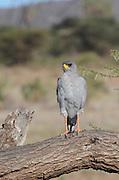 Kenya, Samburu National Reserve, Kenya, Eastern (Pale) Chanting Goshawk or Somali Chanting Goshawk (Melierax poliopterus) on a tree