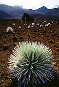 Silvresword plants in the crater of the Haleakala Volcano on Maui, Hawaii. USA. These remarkable plants?which bloom only once in thirty years and then die?were nearly wiped out by goats and vandals; they then made a comeback only to face a new threat: Argentine ants. This introduced alien ant species eats the larvae of the native Hawaiian insects, which pollinates the plants, threatening the future survival of the Silverswords.